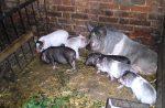 Как сделать своими руками свинарник – устройство сарая для свиней, вентиляция, полы, отопление, навозоудаление, строительство загона на 2, 10, 20 голов